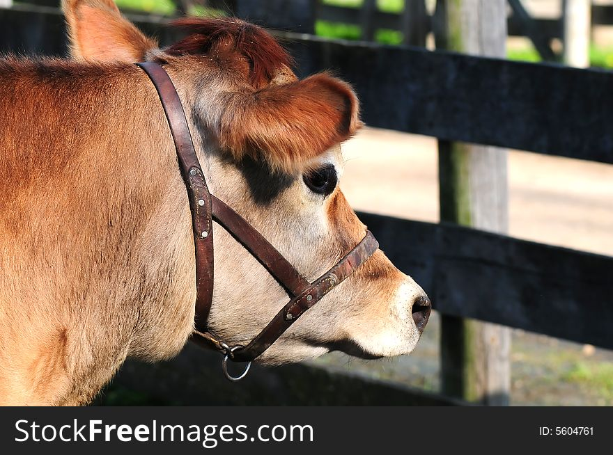 Dairy Cow by Fence