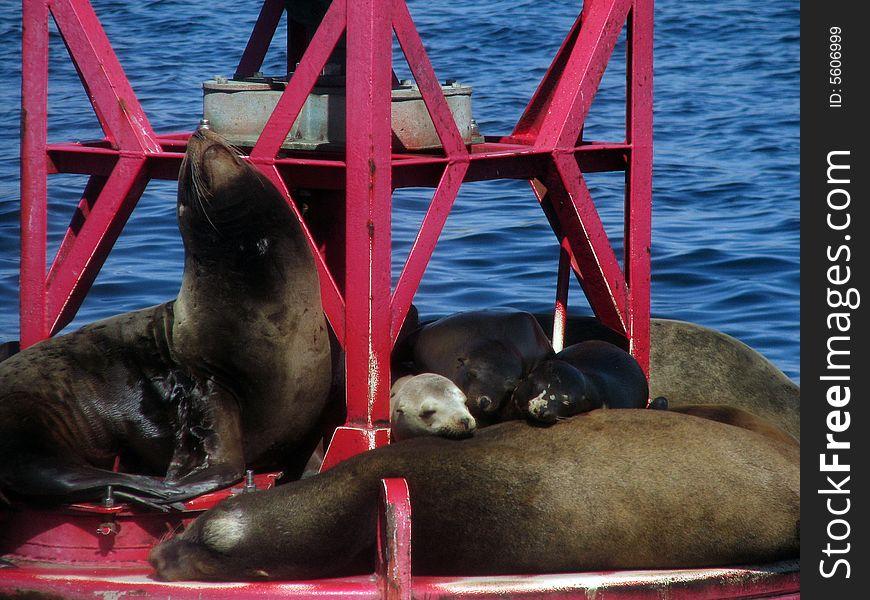 Harbor Seals on Buoy