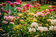 Free Bright Flower-bed Of Multicolored Roses Royalty Free Stock Photo - 56061575