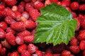 Free Wild Strawberries. Stock Photo - 5610910