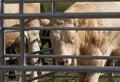 Free Bull Stock Photo - 5616560