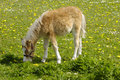 Free Foal Eating Stock Images - 5616564
