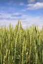 Free Wheat Ears Stock Photography - 5617242