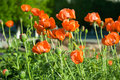 Free Red Poppies Stock Photos - 5617323