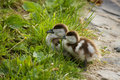 Free Duckling Stock Images - 5618494