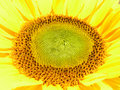 Free Sunflower Royalty Free Stock Photography - 5618797