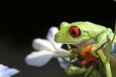 Free Red Eyed Tree Frog Royalty Free Stock Photo - 5610615