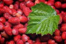 Free Wild Strawberries. Stock Photo - 5610910
