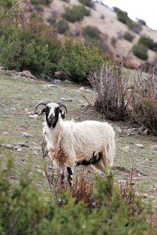 Free Sheep Royalty Free Stock Photography - 5611117
