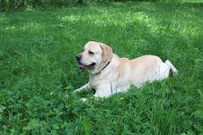 Free Labrador Lenya Royalty Free Stock Images - 5611449