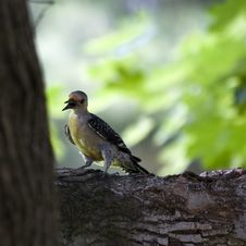 Free Red-Bellied Woodpecker Royalty Free Stock Photos - 5611788