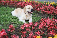 Free Labrador Lenya Royalty Free Stock Photos - 5611858