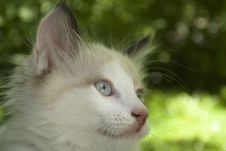 Free White Kitten Stock Photography - 5611912