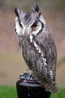 Free Owl Stock Image - 5612401