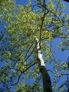 Free Sunlit Aspen Tree Stock Photos - 5612563