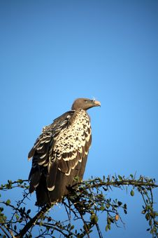 Free Vulture In A Tree Royalty Free Stock Photo - 5612935