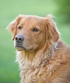 Free Golden Retriever Royalty Free Stock Image - 5613216