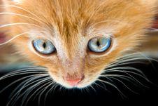 Free Red Kitten Royalty Free Stock Photo - 5613425