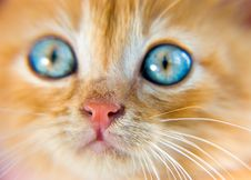 Free Red Kitten Royalty Free Stock Photography - 5613437