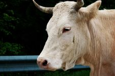 Free Cow Stock Images - 5613444