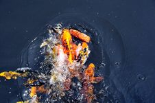 Free Feeding Koi Fish Stock Photos - 5613833