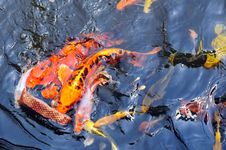 Free Feeding Koi Fish Royalty Free Stock Images - 5613889
