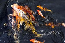 Free Feeding Koi Fish Royalty Free Stock Image - 5613896