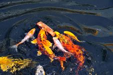 Free Feeding Koi Fish Stock Photos - 5613903