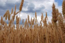 Free Wheat Stock Photos - 5614103