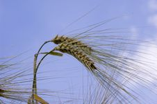 Free Wheat Royalty Free Stock Photography - 5614107