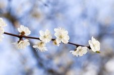 Free Cherry Flowers Against The Blue Sky Stock Photo - 5615600