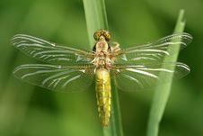 Free Dragonfly Libellula Depressa Royalty Free Stock Photos - 5615938