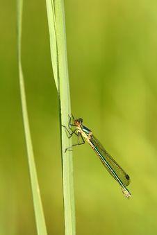 Free Dragonfly Lestes Viridis Royalty Free Stock Photo - 5616065