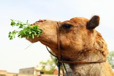 Free Camel In The Desert Stock Images - 5616194