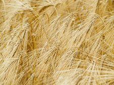 Free Wheat Background Stock Photos - 5616463