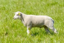 Free Lamb Stock Image - 5616601