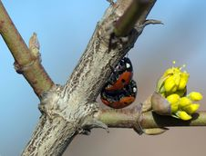 Free Two Ladybirds Mating On A Branch Stock Photos - 5616603