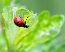 Ladybug Sitting On A Green Grass Stock Photos