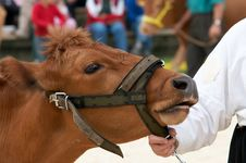 Free Cow Portrait Stock Photo - 5616650