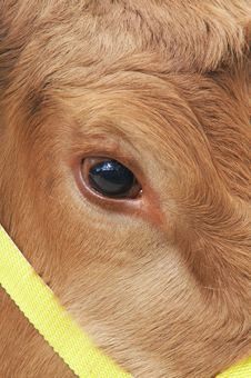 Free Cows Eye Stock Image - 5616701