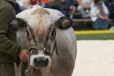 Free Cow Portrait Stock Photos - 5616743