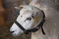 Free Sheep Portrait Royalty Free Stock Photos - 5616808
