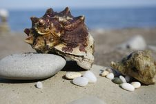 Free Seashell Royalty Free Stock Images - 5616859