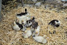 Free Baby Ducks On A Farm Stock Images - 5616984