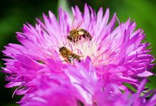 Bees On A Flower Royalty Free Stock Image