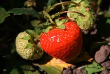 Free Strawberries Found In The Middle Of Leafs Royalty Free Stock Photos - 5617208