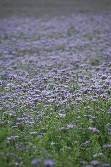 Free Violet Field Background Texture Stock Images - 5617244
