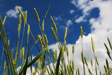 Free Wheat Ears On Blue Background Royalty Free Stock Image - 5617296