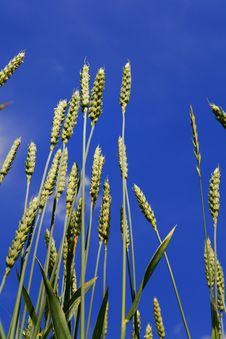 Free Wheat Ears Royalty Free Stock Photography - 5617297