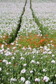 Free Poppy Field Royalty Free Stock Photos - 5617318